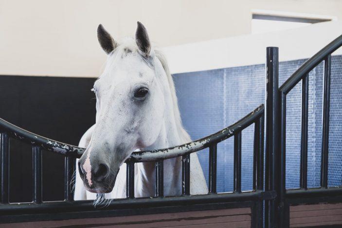 arabian horses for sale